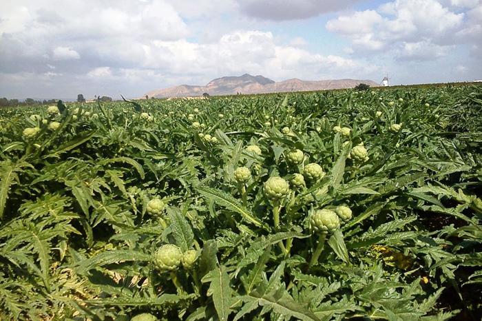 Foto: Cortesía. En los municipios de Zamora y Ecuandureo se producen 662 toneladas en una superficie cultivada de 43 hectáreas.