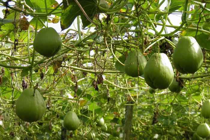 Foto: Cortesía. En Michoacán, existen aproximadamente 2 mil productores que se dedican al cultivo del chayote.