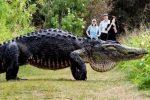 Foto: Notimex. Se estima que el reptil mide 4.5 metros de largo, que lo podría hacerlo el más grande visto en el estado