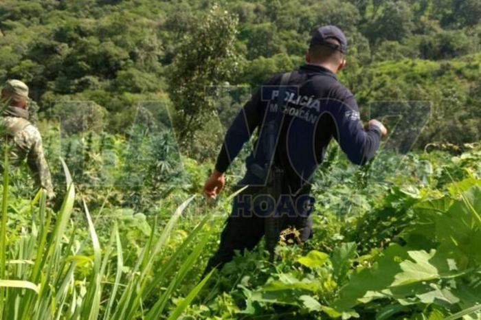 MADERO Destruyen nueve plantíos de marihuana (1) (2)