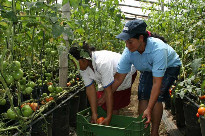 """""""Producción de jitomate genera más de 20 mil empleos en Michoacán"""""""