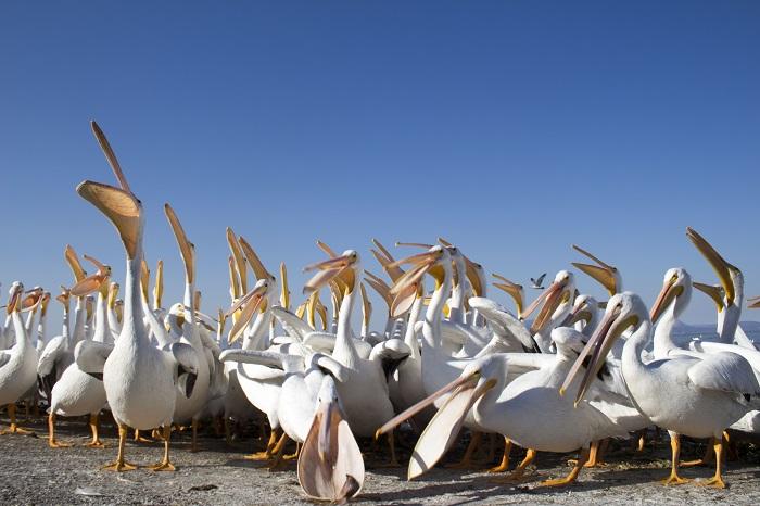 Pelicanos (1)