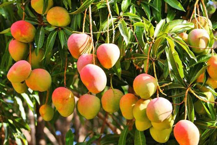 mango_12_exportacion