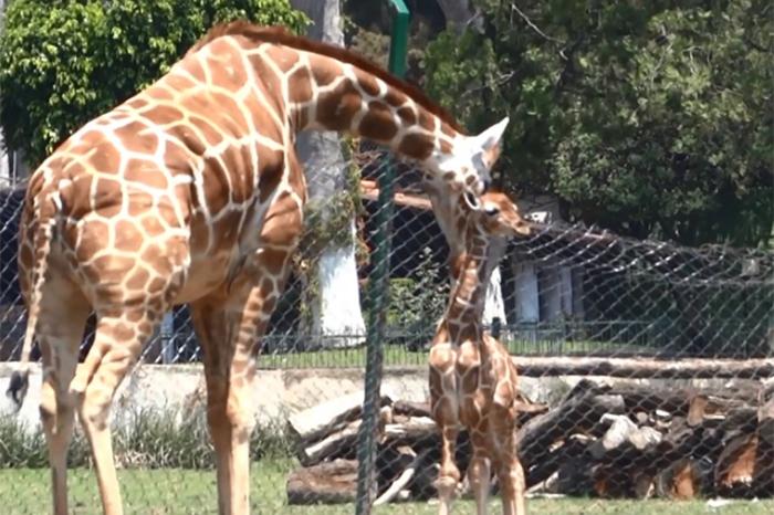 Pero en fines de semana, vacaciones o fechas específicas como el Día del  Niño o de Reyes, el Zoológico de Morelia se llena de familias que acuden,  ...