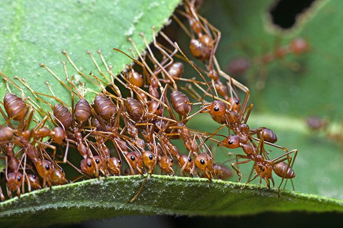 Red ant, Ant bridge unity team