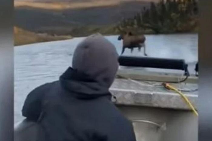 El video más asombroso: un alce camina sobre el agua y lo comparan con  Moisés en el Mar Rojo